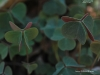 Violet Wood Sorrel Leaves