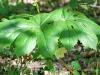 Mayapple Plant in Blossom
