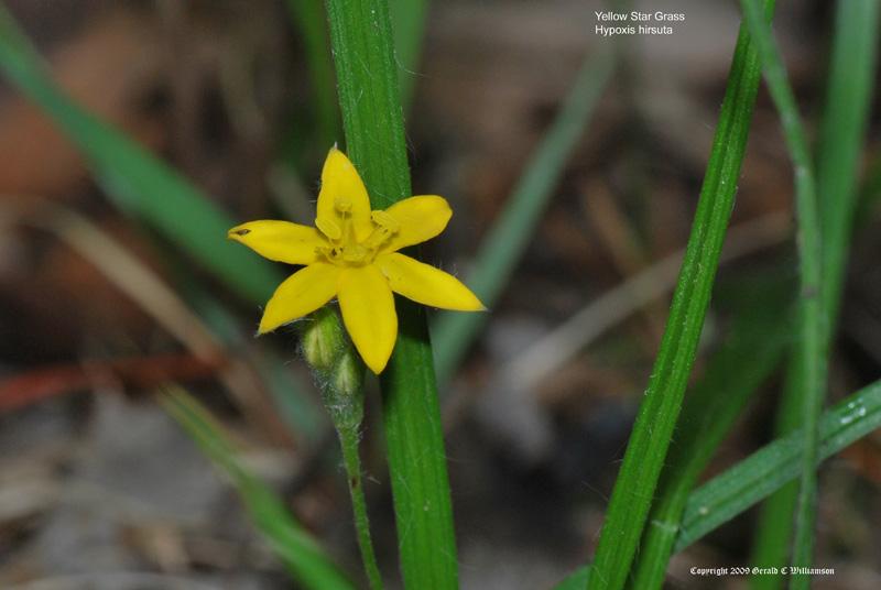 05202009 photo of the day yellow star grass uswildflowers yellow star grass some flower common names mightylinksfo