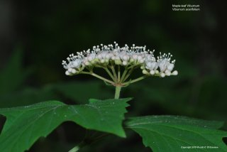 Maple-leaf Viburnum