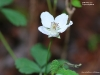 Northern Dewberry