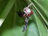 Wasp on Toadshade
