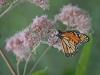 Grundy Monarch