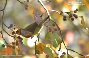 Cedar Waxwing takes a Bradford pear berry