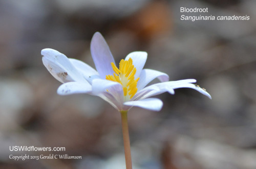 Bloodroot - Sanguinaria canadadensis - Blooming at The Pocket at Pigeon Mountain 02/24/2013