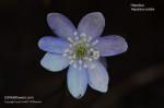 Hepatica - Hepatica nobilis