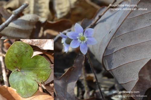 Roundlobe Hepatica - Hepatica nobilis var obtusa