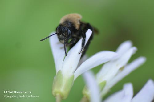 Bee on Toothwort