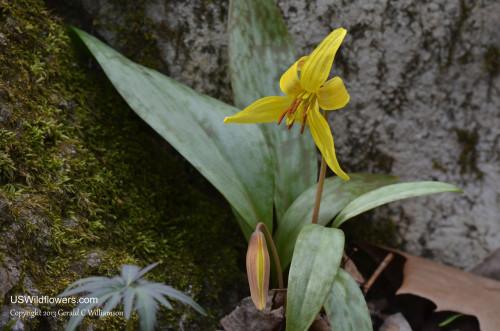 Trout Lily - Erythronium americanum