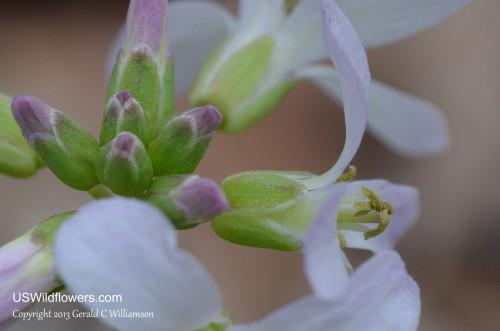 Toothwort inflorescence