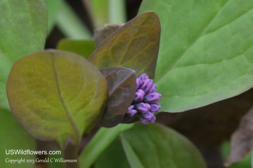 Virginia Bluebells - Mertensia virginica
