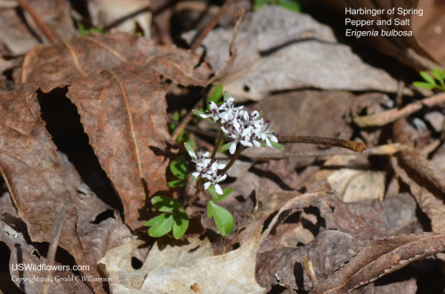 Harbinger of Spring - Erigenia bulbosa