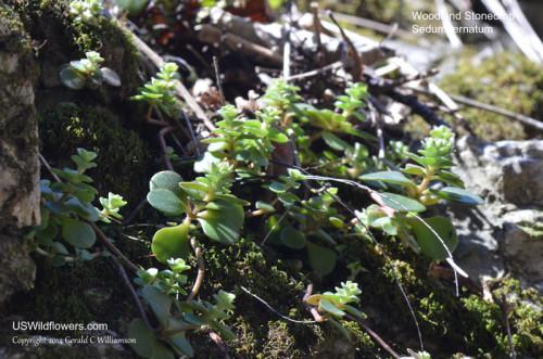 Woodland Stonecrop - Sedum ternatum