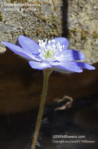 Anemone acutiloba