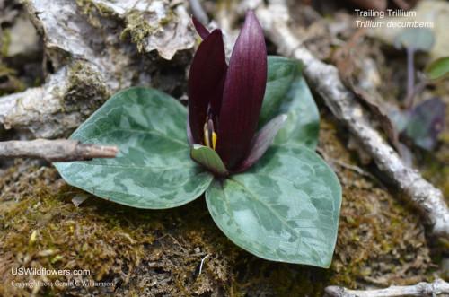 Trailing Trillium (Trillium decumbens)