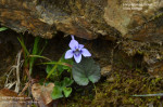 Long-spurred violet - Viola rostrata
