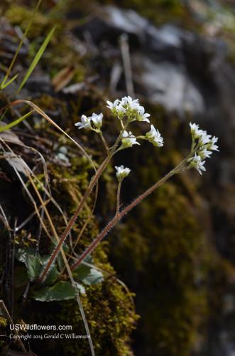 Early Saxifrage - Saxifraga virginiensis