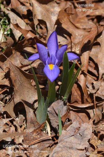 Vernal Iris - Iris verna