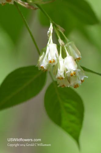 American Bladdernut - Staphylea trifolia