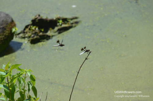 Dragonfly at Curtain Pole Pond