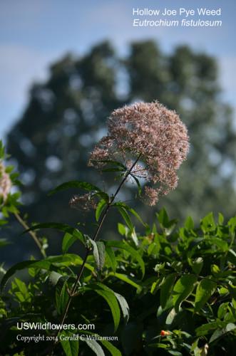 Hollow Joe Pye Weed, Trumpetweed, Tubular Thoroughwort, Hollow-stemmed Joe-pye-weed - Eutrochium fistulosum