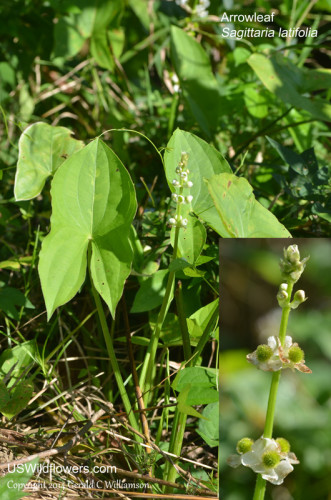 Common Arrowhead, Arrowleaf, Burhead, Wapato, Duck-potato, Broadleaf Arrowhead - Sagittaria latifolia
