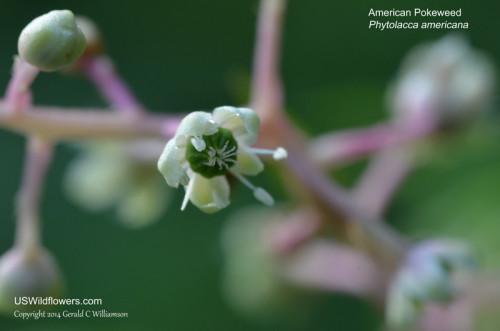 American Pokeweed, Pokeberry, Inkberry, Poke Sallet - Phytolacca americana