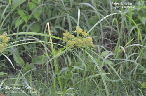 False Nutsedge, Strawcolored Flatsedge, Strawcolor Nutgrass - Cyperus strigosus