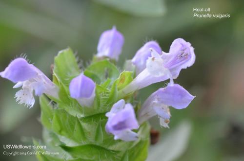 Heal-All, Common Selfheal - Prunella vulgaris