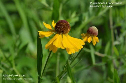 Purple-headed Sneezeweed, Purplehead Sneezeweed - Helenium flexuosum
