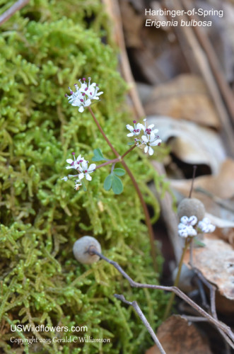 Harbinger-of-Spring - Erigenia bulbosa