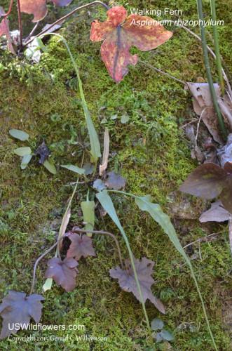 Walking Fern - Asplenium rhizophyllum