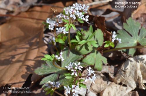 Harbinger-of-Spring, Pepper and Salt - Erigenia bulbosa