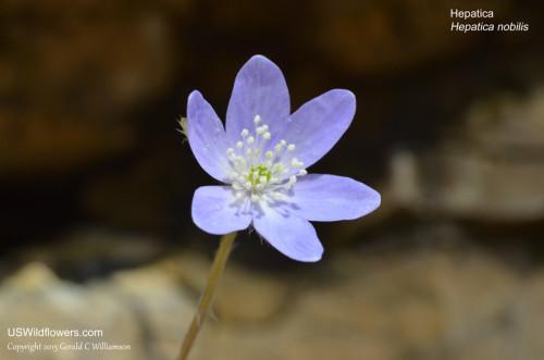 Sharp-lobed Hepatica, Liverleaf - Hepatica nobilis