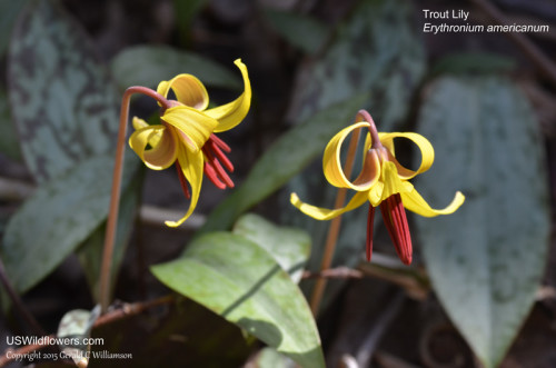 Trout Lily, Yellow Dogtooth Violet, Yellow Adder's Tongue, Yellow Trout-Lily - Erythronium americanum