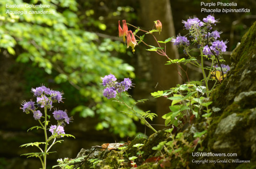 Eastern Columbine and Purple Phacelia
