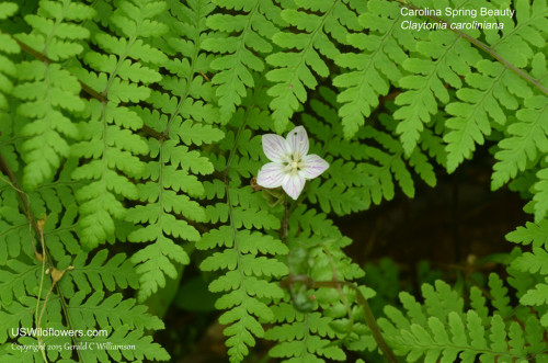 Carolina Spring Beauty, Wide-leaved Spring Beauty - Claytonia caroliniana