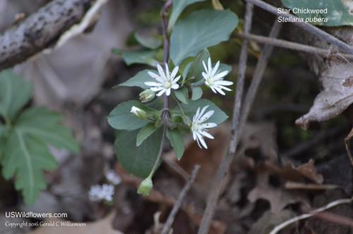 Star Chickweed - Stellaria pubera