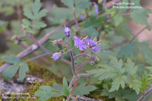 Purple Phacelia, Fernleaf Phacelia - Phacelia bipinnatifida