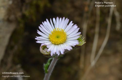 Robin's Plantain - Erigeron pulchellus