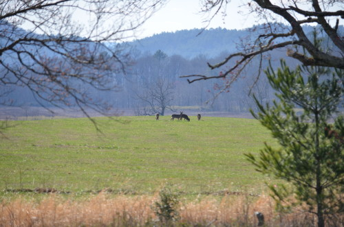 Deer in Cade's Cove