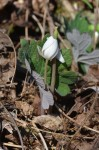 Bloodroot on Chestnut Top Trail