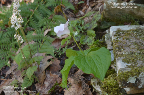 Large-flowered Trillium, Foamflower, Star Chickweed, Hepatica leaves