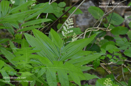 False Solomon's Seal, Feathery False Lily of the Valley, Solomon's Plume - Maianthemum racemosum
