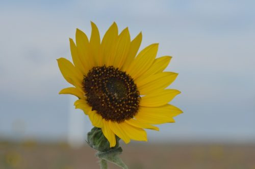 Kansas State Flower - Sunflower
