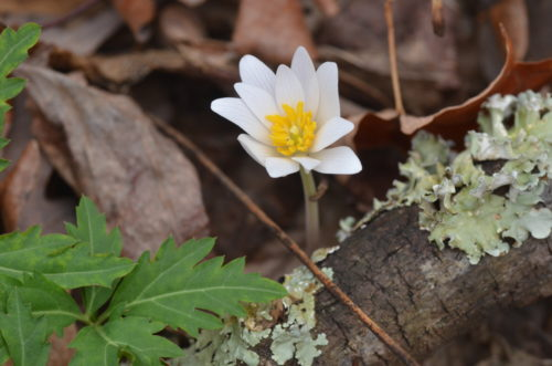 Bloodroot at The Pocket