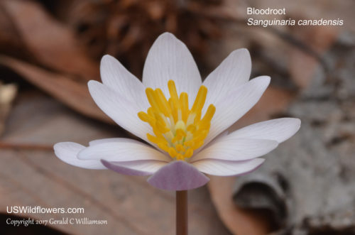 Bloodroot, Red Indian Paint, Red Puccoon - Sanguinaria canadensis