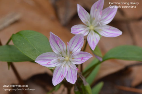 Carolina Spring Beauty, Wide-leaved Spring Beauty - Claytonia caroliniana