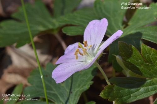 Wild Geranium - Geranium maculatum