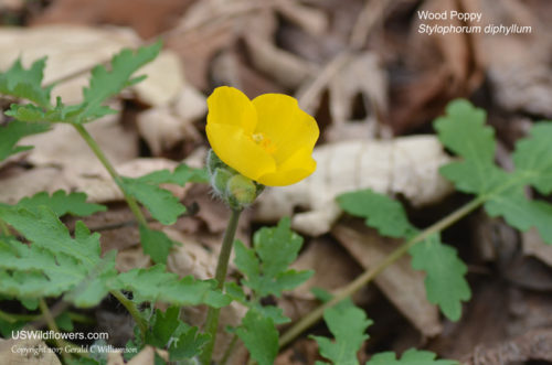 Wood Poppy, Celandine Poppy - Stylophorum diphyllum